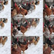 Chicken-and-cock-in-winter-dust-daylight-slow-motion National Footage