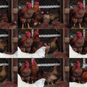 Chicken-house-hub-on-slow-motion National Footage