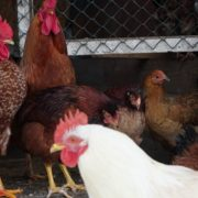 Chicken-house-hub-on-slow-motion_004 National Footage
