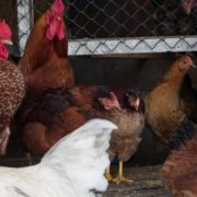 Chicken-house-hub-on-slow-motion_005 National Footage