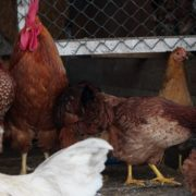 Chicken-house-hub-on-slow-motion_008 National Footage