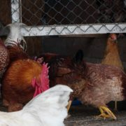 Chicken-house-hub-on-slow-motion_009 National Footage