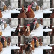 Rooster-cock-and-chicken-face-walking-in-winter National Footage