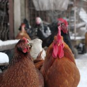 Rooster-cock-and-chicken-face-walking-in-winter_001 National Footage