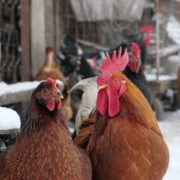 Rooster-cock-and-chicken-face-walking-in-winter_002 National Footage