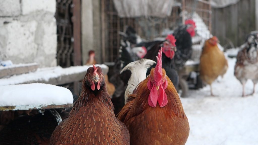 vj video background Rooster-cock-and-chicken-face-walking-in-winter_003