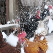 Rooster-cock-and-chicken-face-walking-in-winter_004 National Footage
