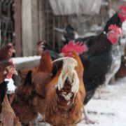 Rooster-cock-and-chicken-face-walking-in-winter_005 National Footage