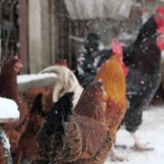 Rooster-cock-and-chicken-face-walking-in-winter_006 National Footage
