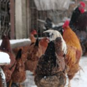 Rooster-cock-and-chicken-face-walking-in-winter_007 National Footage