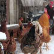 Rooster-cock-and-chicken-face-walking-in-winter_008 National Footage