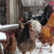 Rooster-cock-and-chicken-face-walking-in-winter_009 National Footage
