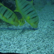 Deep-Seet-Green-Fishes-Video-Background-For-Theatre-Stage-Decoration-4K-Video-Footage_002 National Footage